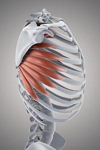 Serratus Muscle